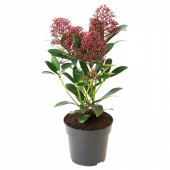 SKIMMIA JAPONICA RUBELLA Растение в горшке